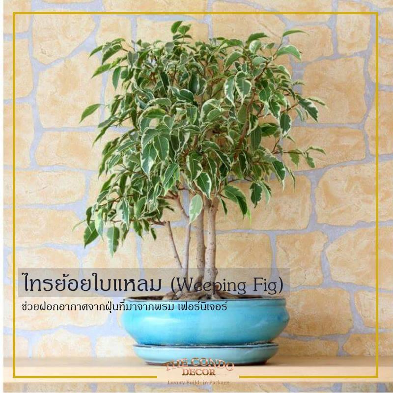 ต้นไทรย้อยใบแหลม ต้นไม้ปลูกในห้องนอน |  THE CONDO DECOR  แพ็กเกจแต่งคอนโดราคาถูกกรุงเทพ