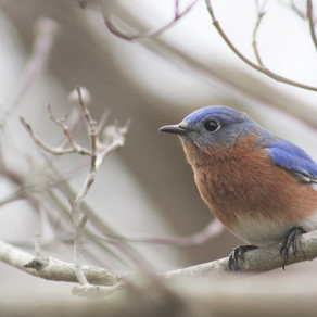 Eastern Bluebird Conservation at Charlotte's Quest