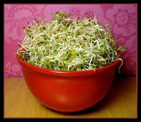 Sprouts-Alfalfa-