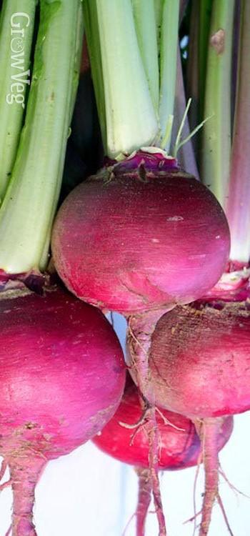 Turnips Scarlet