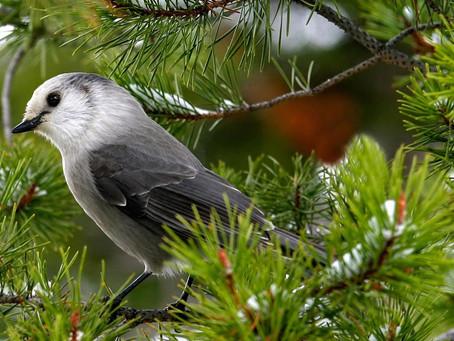 Des drones pour étudier le chant des oiseaux