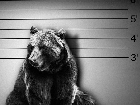 One Male Idaho Grizzly Bear To Be Executed In Trophy Hunt.