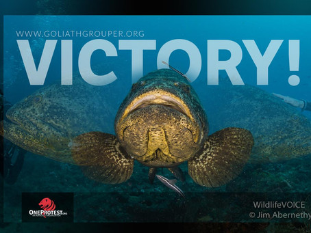 Victory For Florida's Goliath Groupers