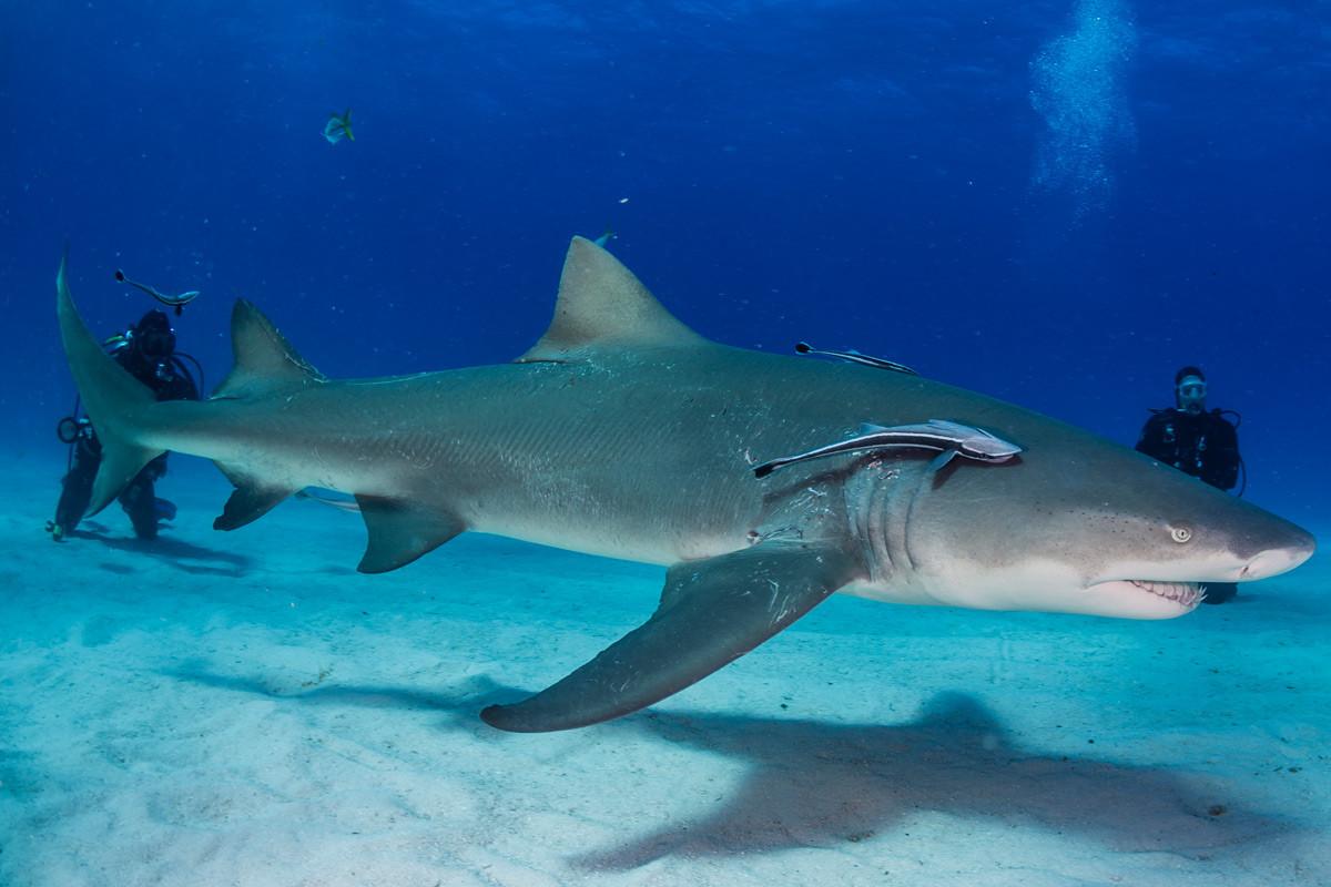Lemon Shark