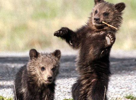 U.S. District Judge Dana Christensen Rules To Restore Federal Protections To Yellowstone Grizzlies