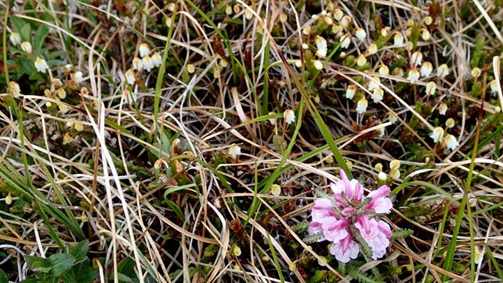 Tundra flowers, north of Wainwright, AK