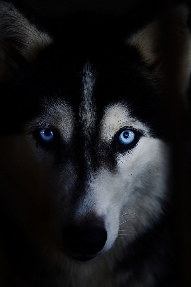 NIU Blue eyed husky