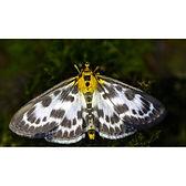 Small Magpie Moth Anania hortulata
