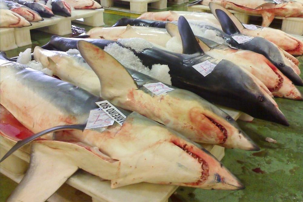 Tubarões-mako mortos