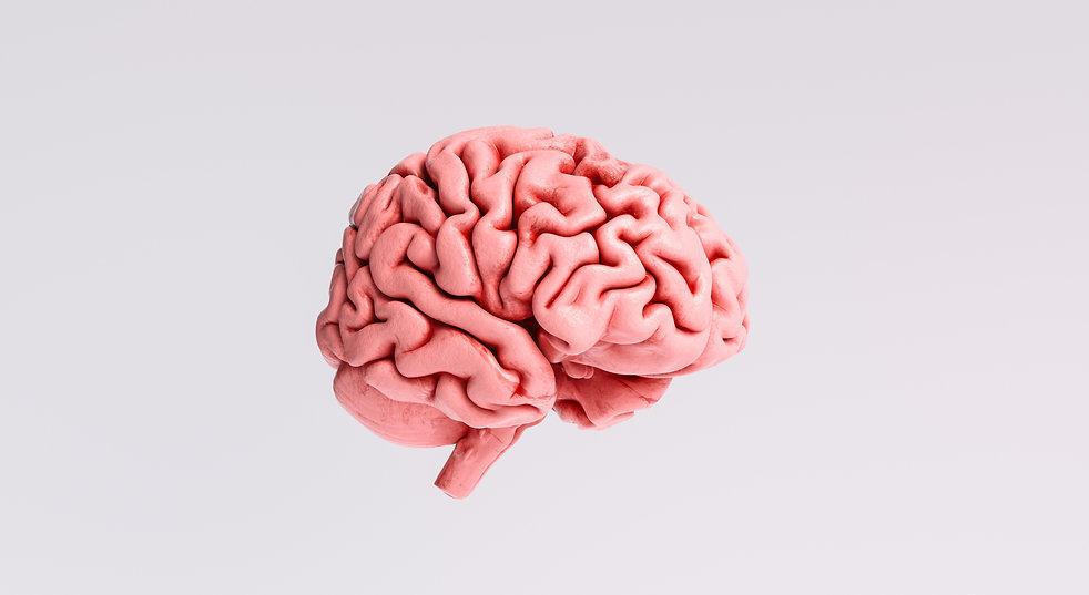 Human brain Anatomical Model, side view.
