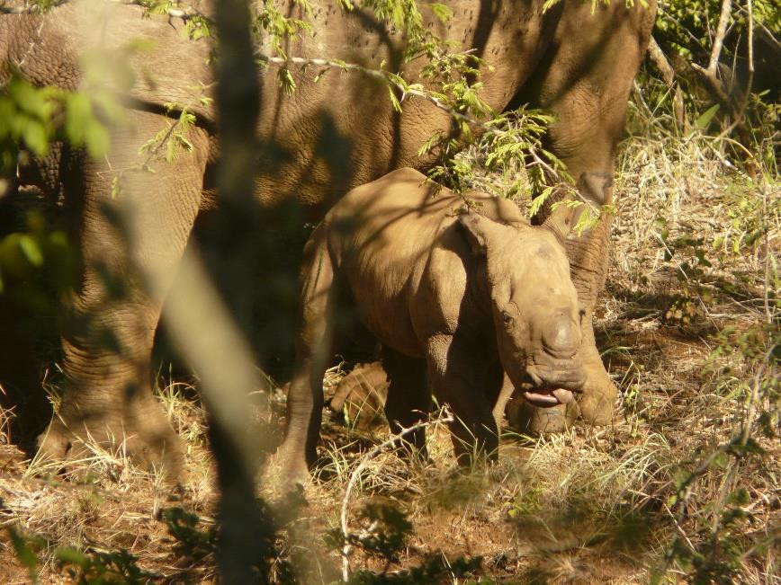 The first photos of Umasingana – the new born white rhino bull born to Ubomi.   Photo credit: Wildlife Act's Pippa Orpen.