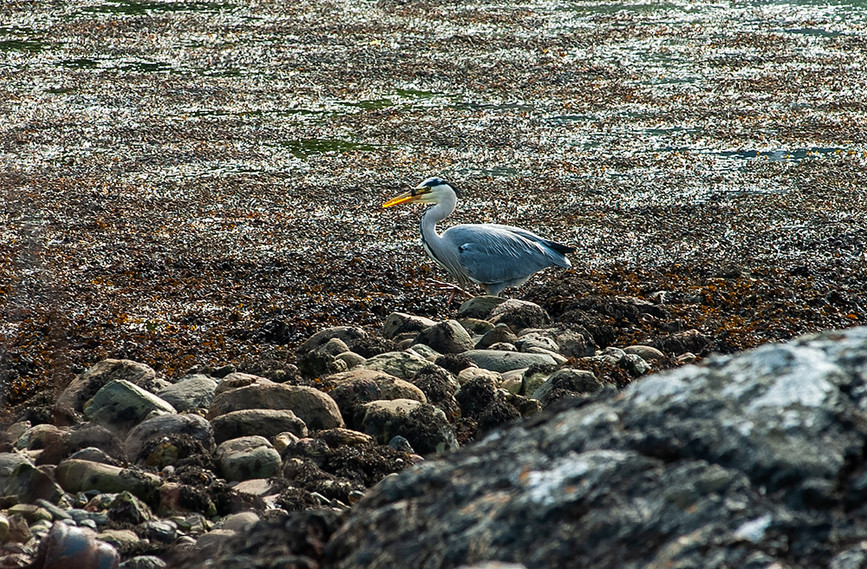 Heron fishing by the castle