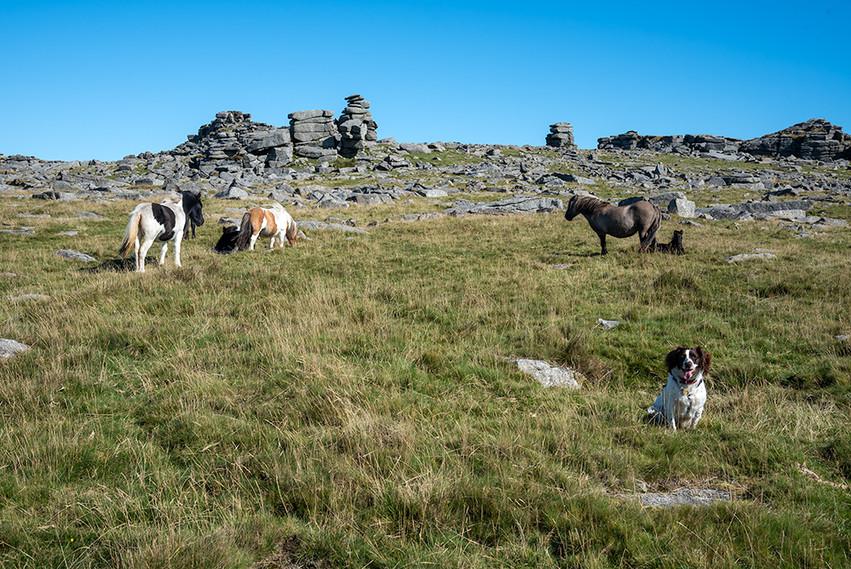 Dartmoor ponies just below Great Staple Tor 8