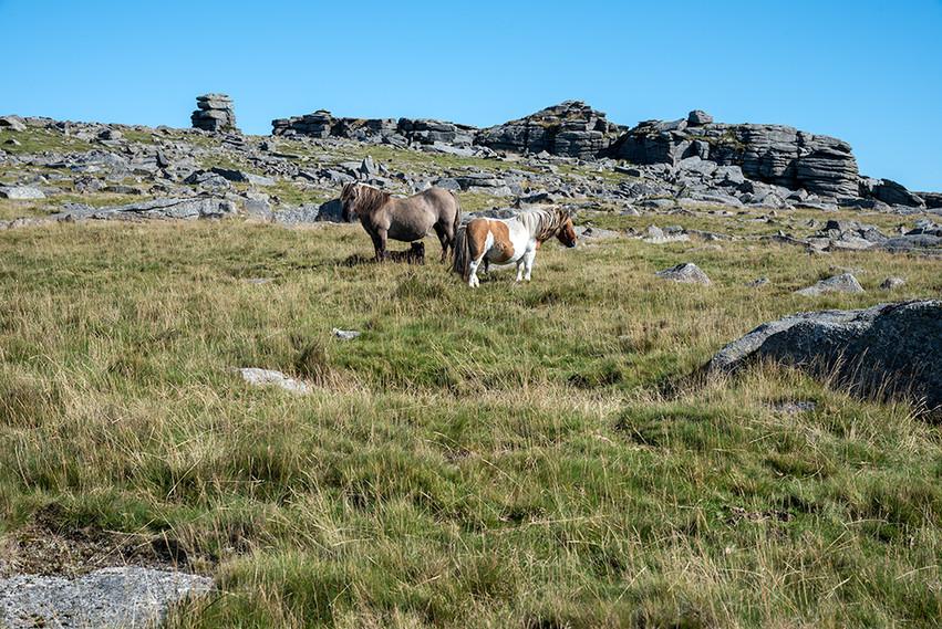 Dartmoor ponies just below Great Staple Tor 3