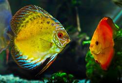 Discus Fish (Mating Pair)
