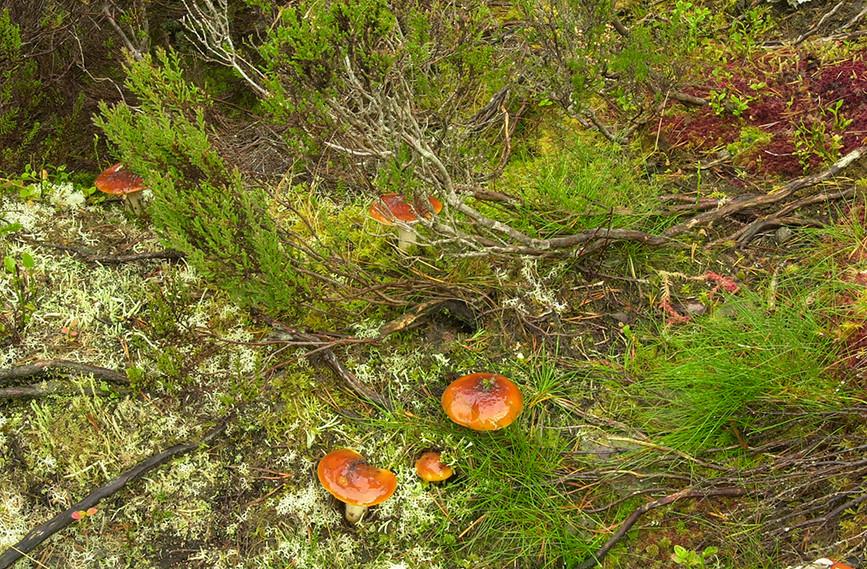 Fungi (Russula), Glen Affric 01