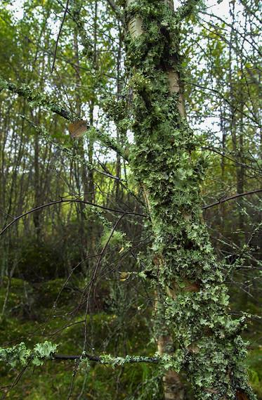 Lichen covered tree 01