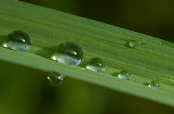 Water droplets on Grass Stem