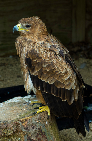 Juvenile Golden Eagle (captive)