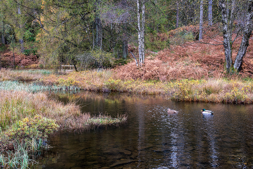 Mallard ducks on the Tarn