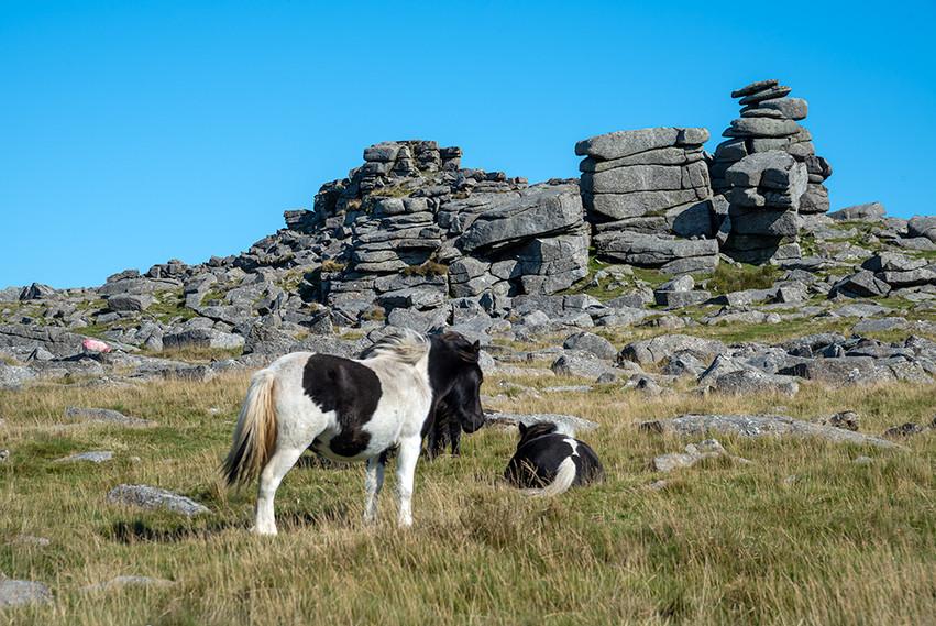 Dartmoor ponies just below Great Staple Tor 6