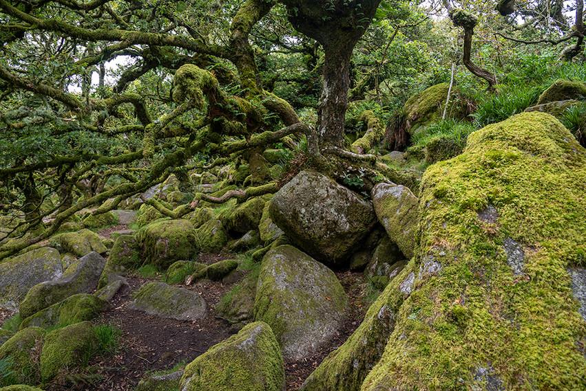Wistman's Wood 17