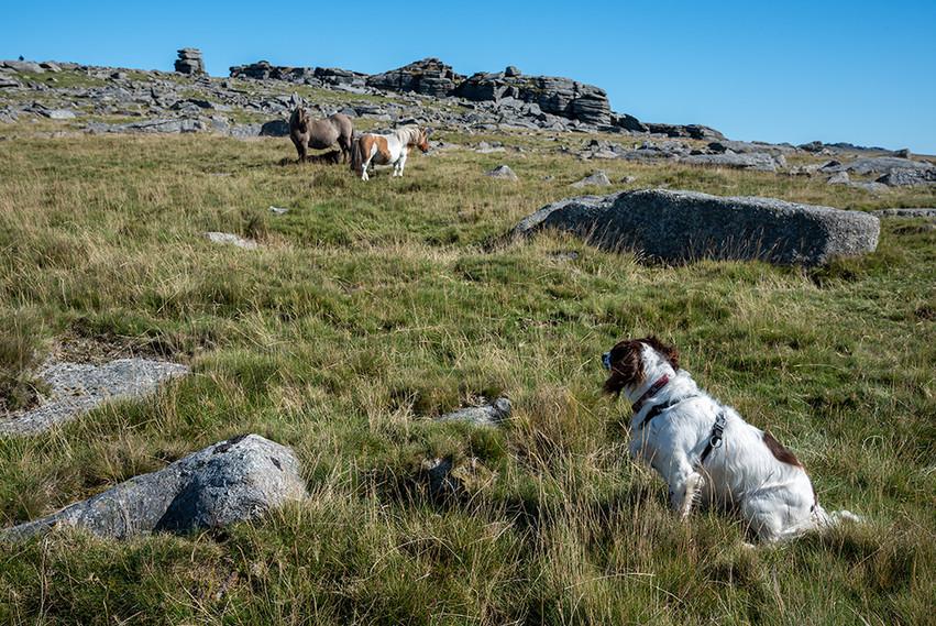 Dartmoor ponies just below Great Staple Tor 2