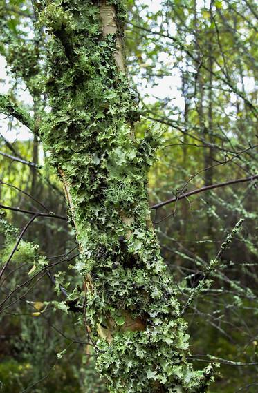 Lichen covered tree 02