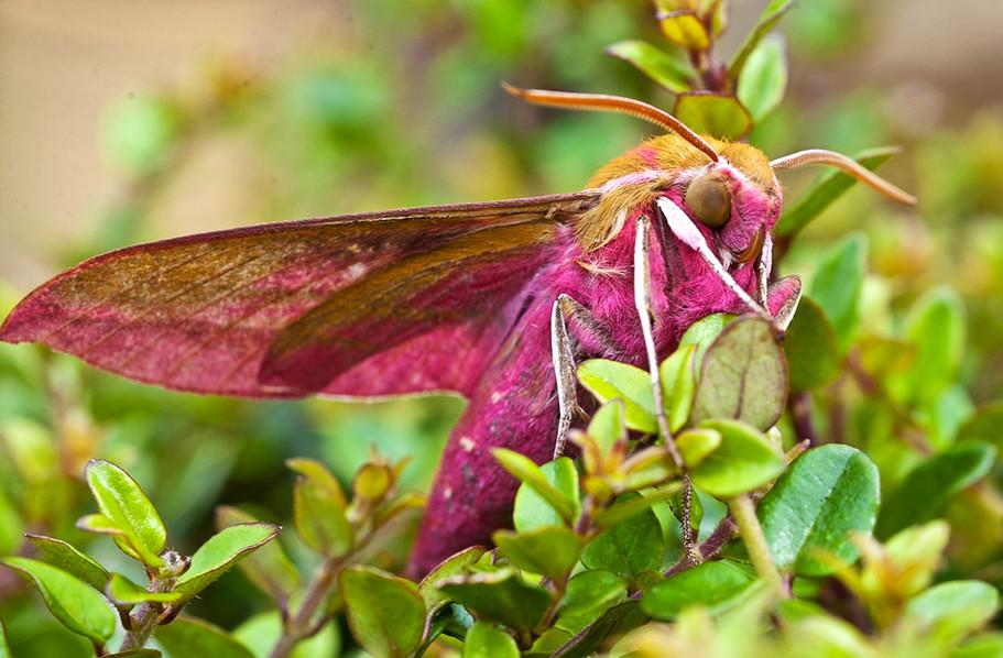 Elephant Hawk Moth (Deilephila elpenor) 01
