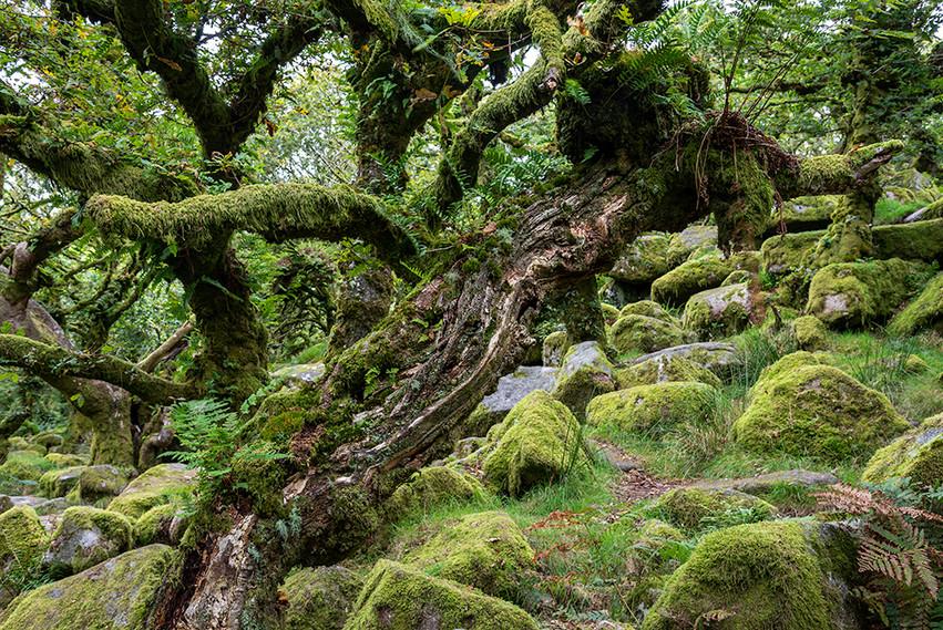 Wistman's Wood 14