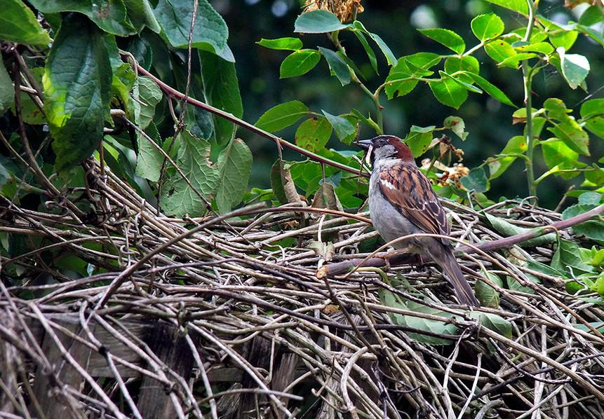 Nestbuilding Sparrow