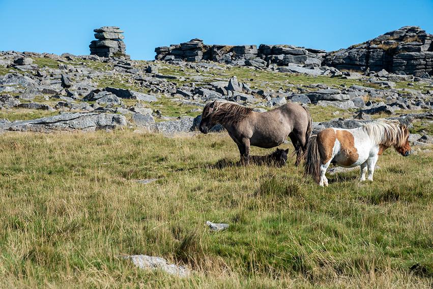 Dartmoor ponies just below Great Staple Tor 5