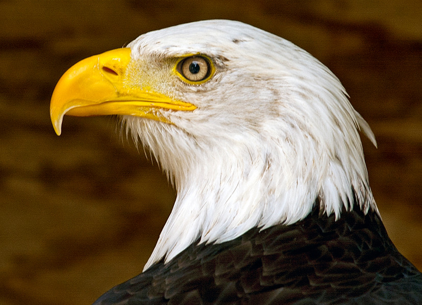 American Bald Eagle