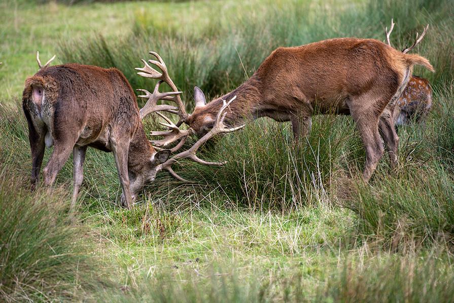 Red Deer 13
