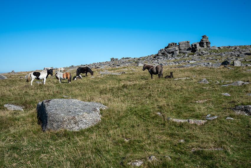 Dartmoor ponies just below Great Staple Tor 7