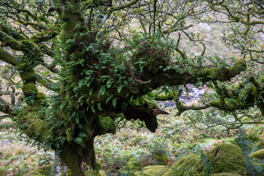 Wistman's Wood 11