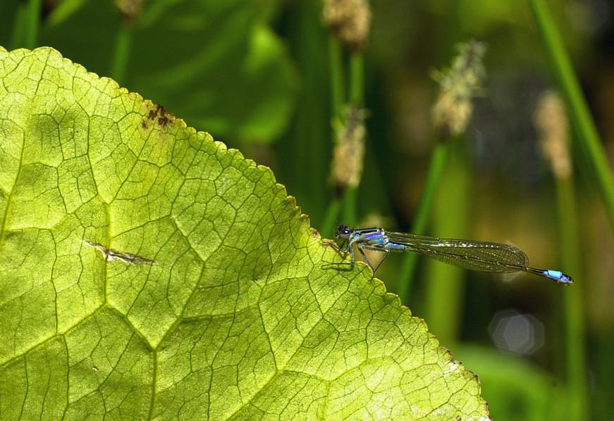 Blue-tailed Damselfly (Ischnura elegans) 01