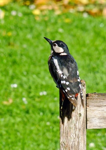 Great Sptted Woodpecker