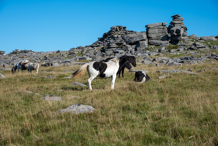 Dartmoor ponies just below Great Staple Tor 1