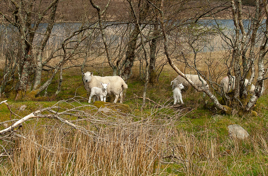 Sheep on shores of Loch Cill Chriosd