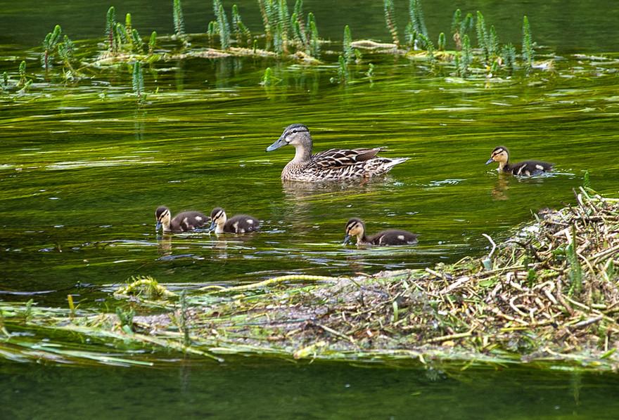 Mallard Duck with Chicks