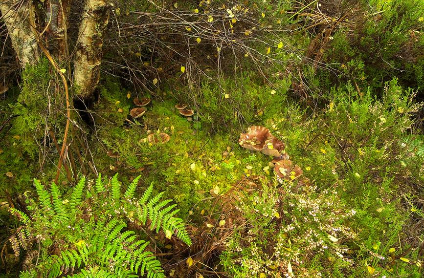 Fungi, Glen Affric 02