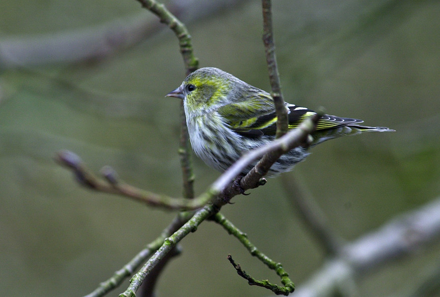 Young Siskin (Carduelis Spinus) 01