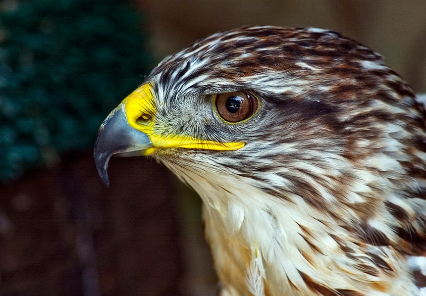 Peregrine Falcon (Captive)