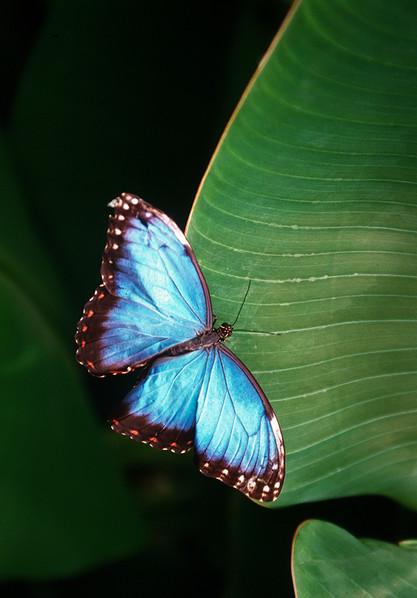Blue Morpho (Morpho menelaus) 03