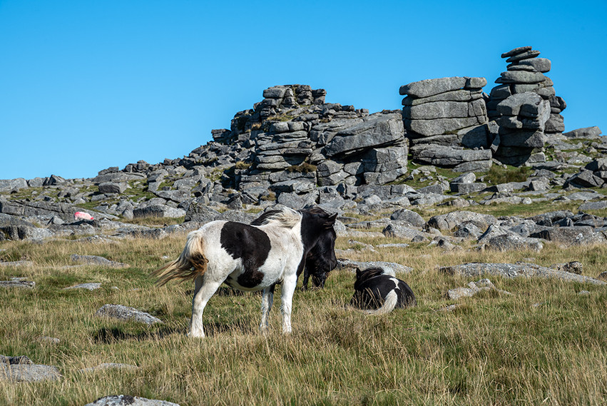 Dartmoor ponies just below Great Staple Tor 4
