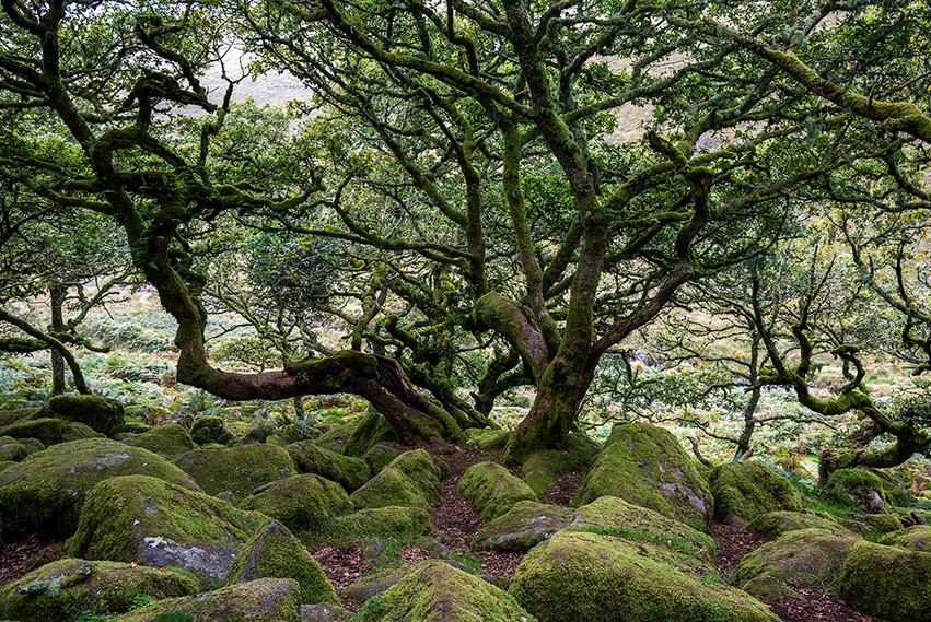 Wistman's Wood 20