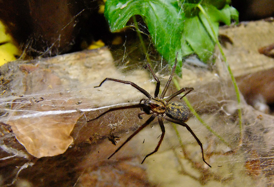 Giant House Spider 02