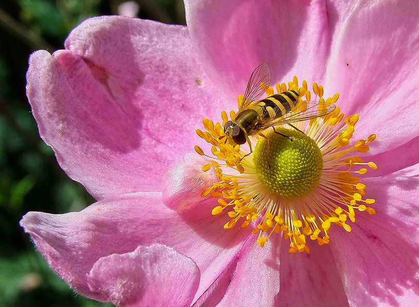 Hoverfly 03