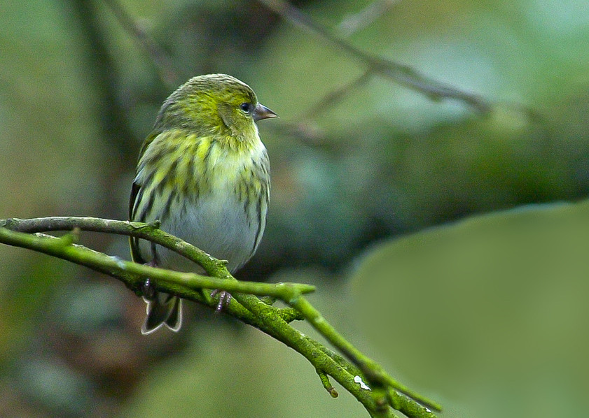 Young Siskin (Carduelis Spinus) 02